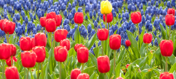 Flowerbed of Tulips in red, blue and yellow