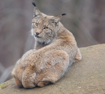 Lynx at the Game Park