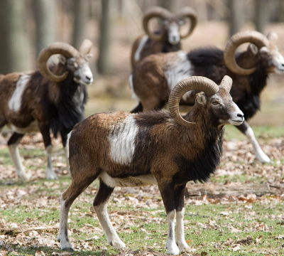 Four Mouflons at the Game Park