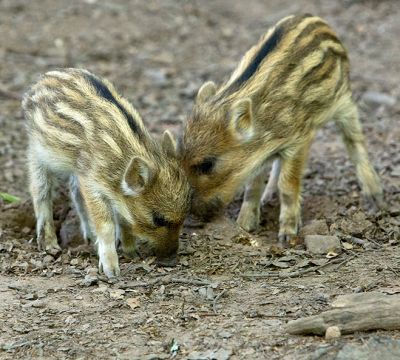 Two young boars at the Game park