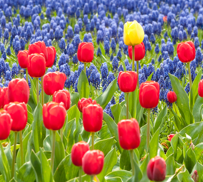 Flower bed of red, blue and yellow tulips
