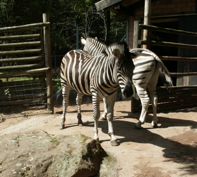 Two Zebras at the Zoo